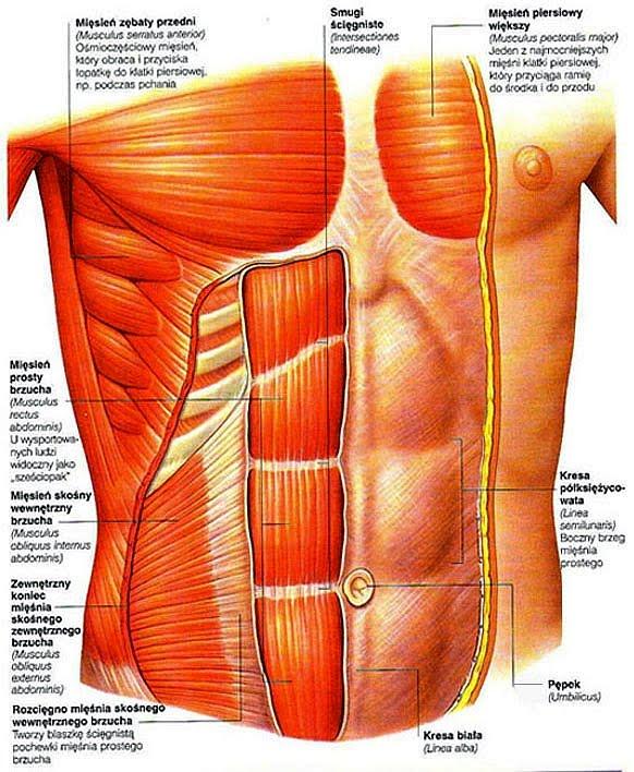 mięśnie brzucha